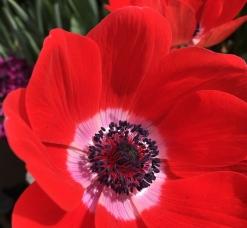 Faye Wolfe anemone