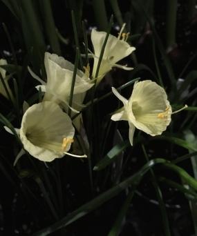 narcissus flowers Faye Wolfe.jpg