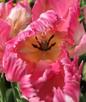 parrot tulip Faye Wolfe