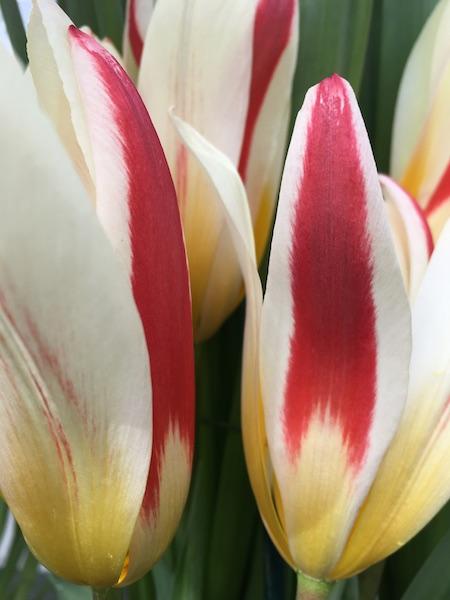 tulips_Faye_Wolfe