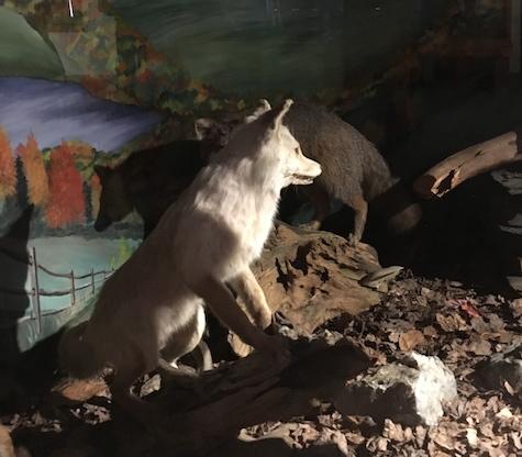 white_fox-FWolfe.jpg