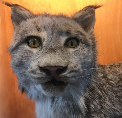 wildcat-Vermont-Wolfe